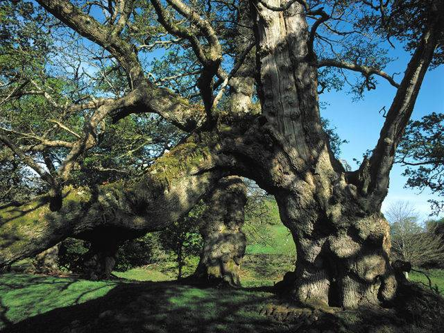 Great Oaks of Dinefwr Park