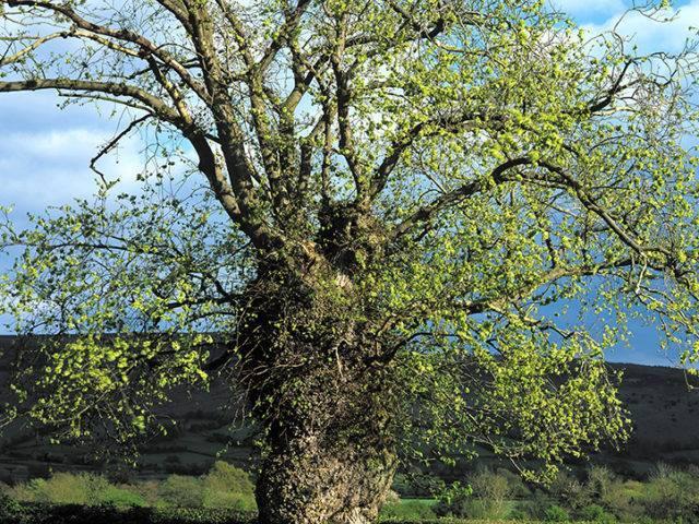 Llwyfen Llydanddail Llangors