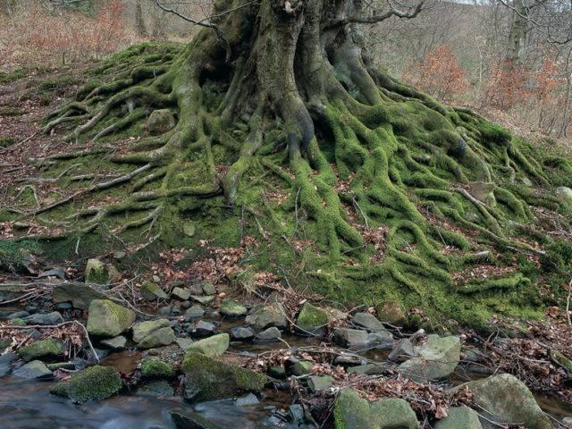 Ffawydd y Dyffryn Mud