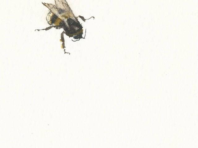 Buff-tailed bumblebee, Rhiw, Llŷn