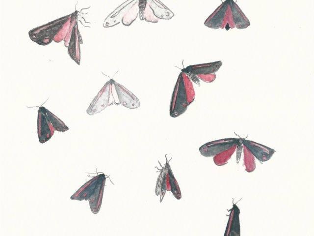 Cinnabar moth studies I