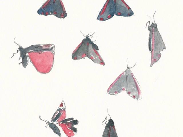 Cinnebar moth studies II, Rhiw, Llŷn