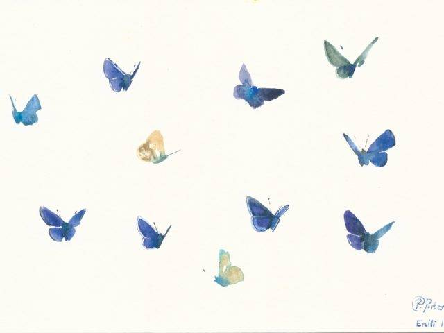 Common blue butterfly studies I, Enlli