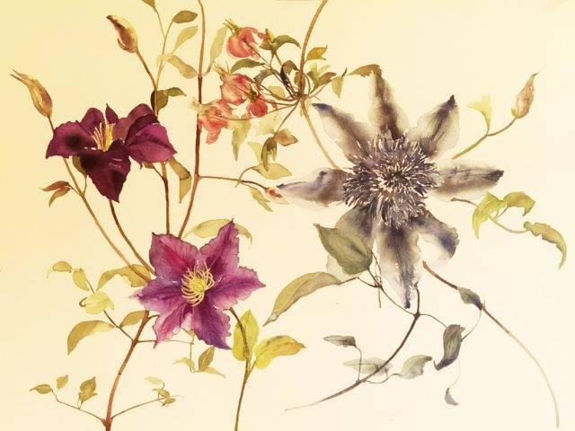 Blue and violet clematis
