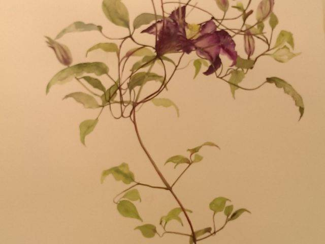 Clematis and red ribbon