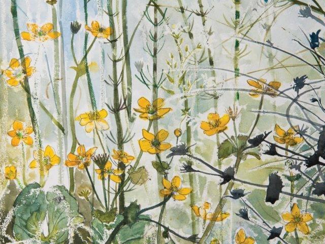 Marsh marigolds Tŷ Pellaf Withie, Enlli