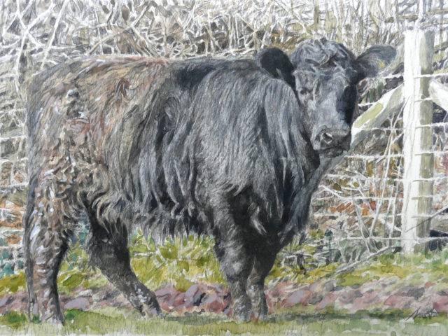 A Welsh Black