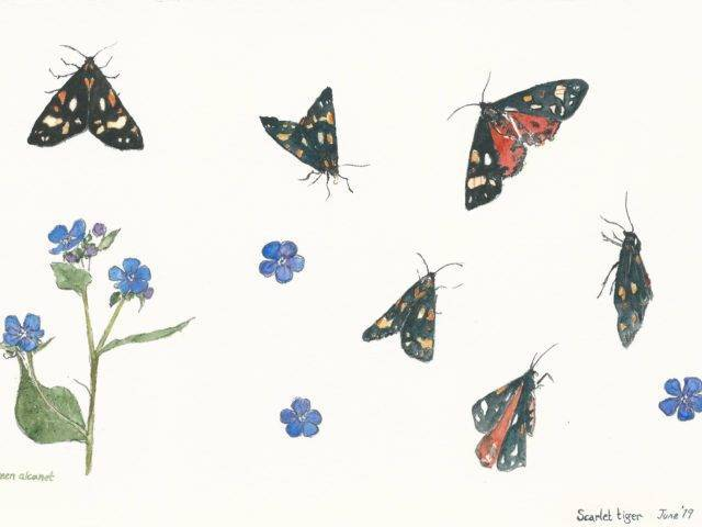 Scarlet tiger moth studies with alkanet, Rhiw Llŷn